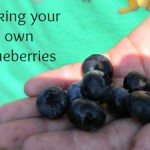 Blueberry Picking in Central Florida