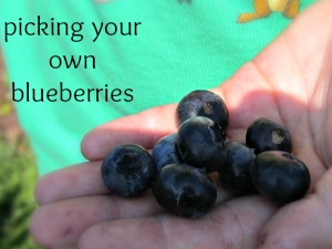 blueberry picking in Central Florida featured