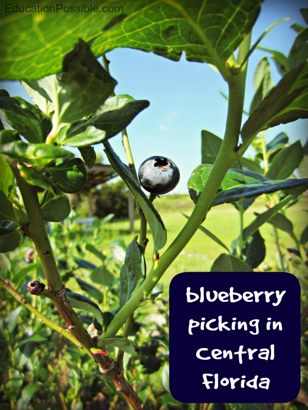 blueberry picking in Central Florida Education Possible