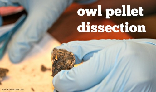owl pellet dissection Education Possible